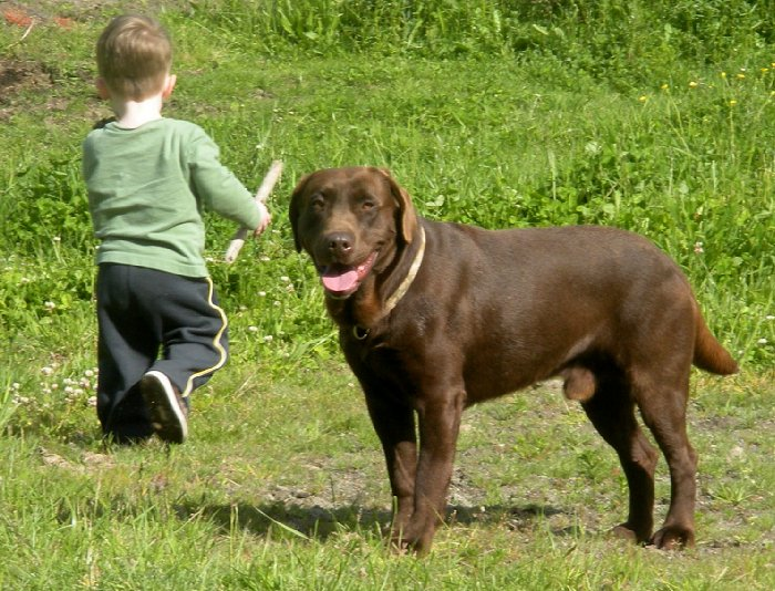 Chocolate Labrador For Stud Yelm Washington
