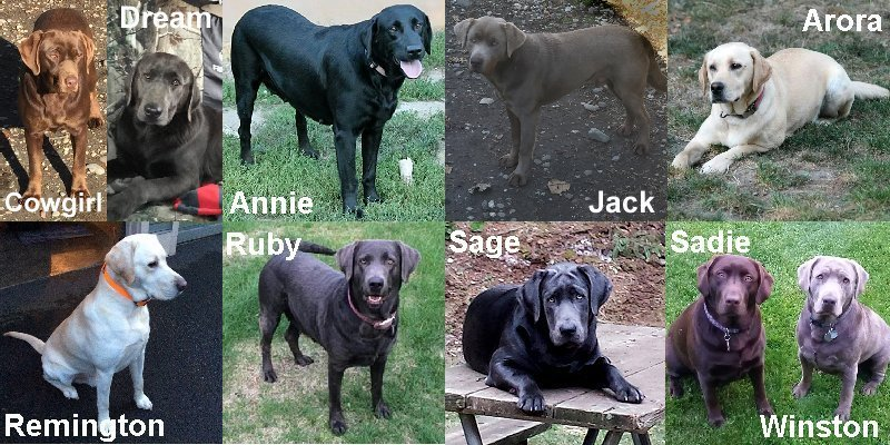 Meet Our Extended Family of Labradors.
