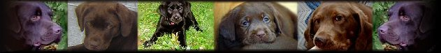 Labrador Retriever Puppies For Sale - Tacoma Lakewood Spanaway Washington State.